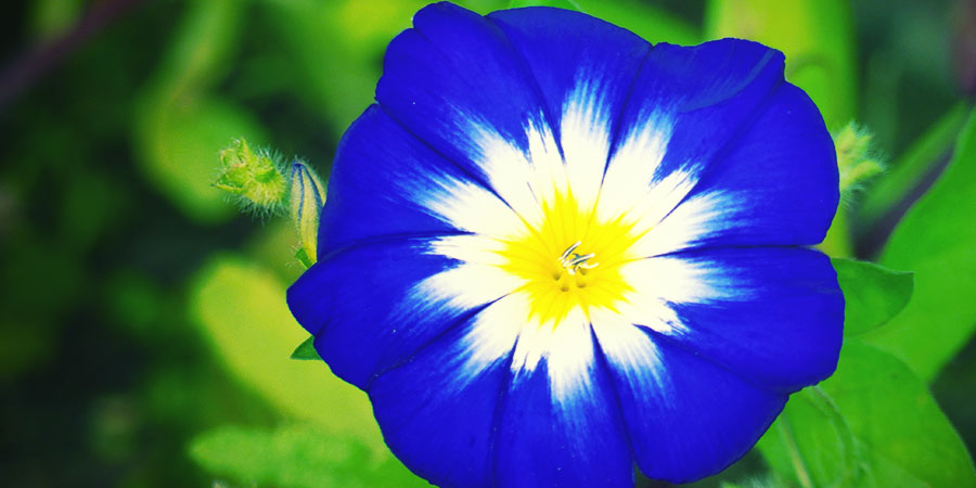 MORNING GLORY (IPOMOEA TRICOLOR)