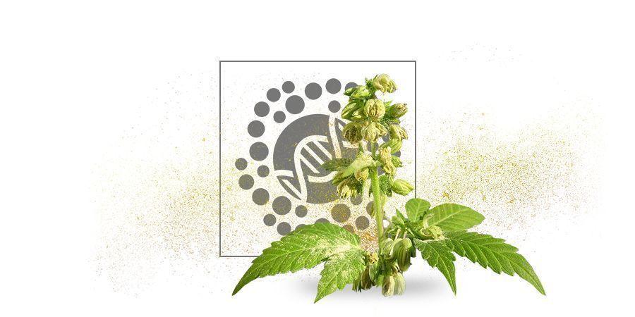 Pollen De Cannabis