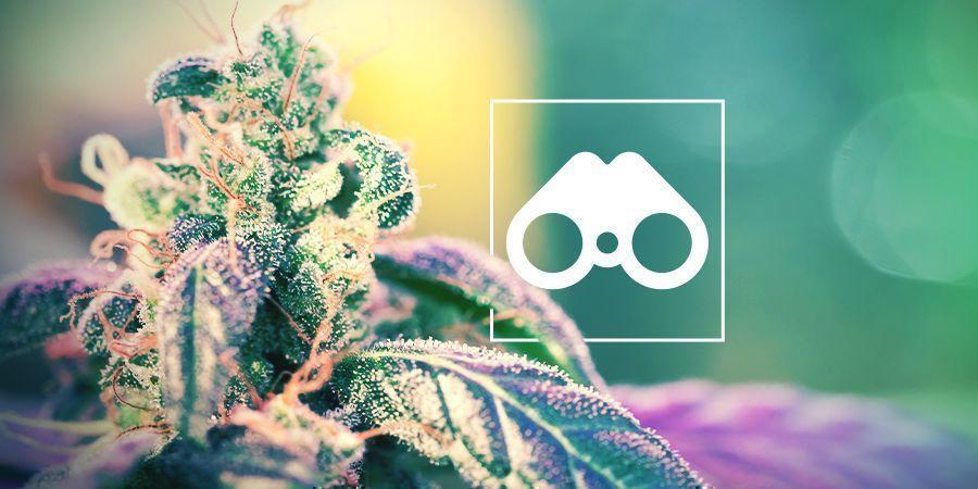 Chasse Aux Phénotypes De Cannabis