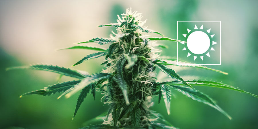 Everything About Autoflowering Cannabis