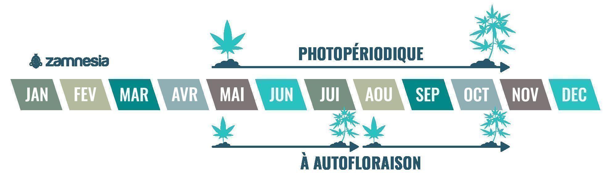 Le cannabis est une plante annuelle