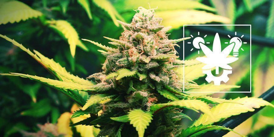 Astuces Pour Cultiver Du Cannabis À Autofloraison