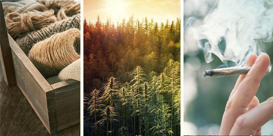 La Différence Entre Graines De Chanvre, De Cannabis Et Marijuana
