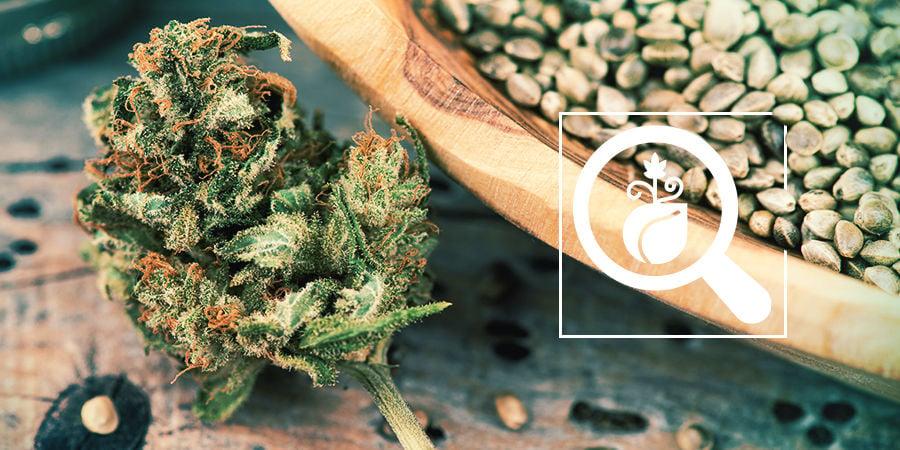 Cannabis Seedfinder : Trouvez Les Meilleures Graines De Cannabis