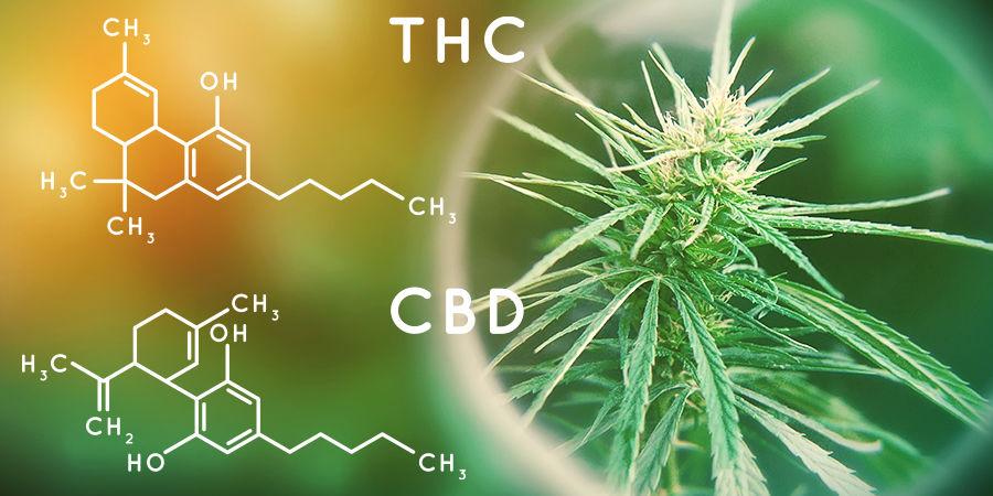 Cannabis Seedfinder : Contenu En Cannabinoïdes