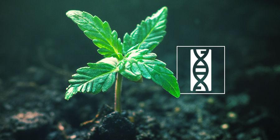 Cannabis Seedfinder : Génétique Des Graines De Cannabis