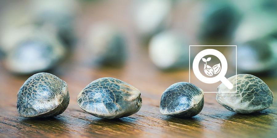 Cannabis Seedfinder : Variétés De Graines De Cannabis