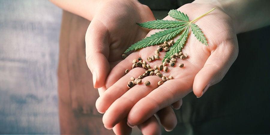 Comment Trouver Les Meilleures Graines De Cannabis
