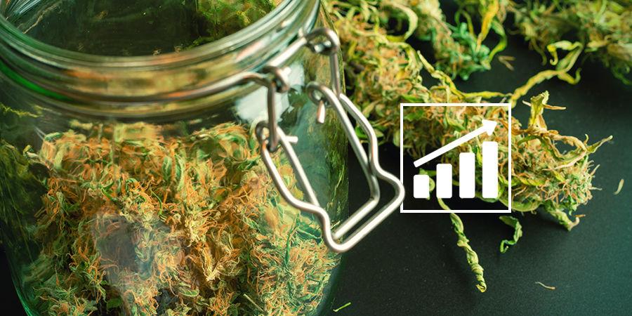 Cannabis Seedfinder : Un Mot Sur Les Rendements De Cannabis