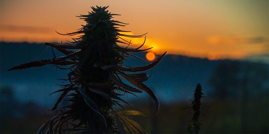 Cannabis Seedfinder : Taille Du Plant