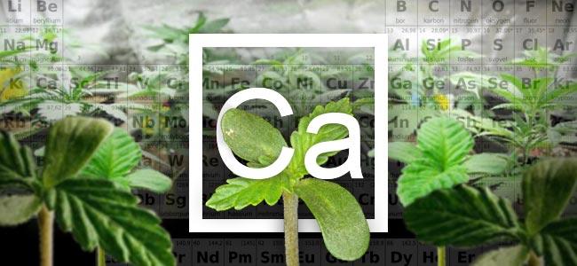 Le Calcium Et Les Plants De Cannabis