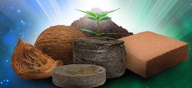 La Culture Du Cannabis Dans Le Coco
