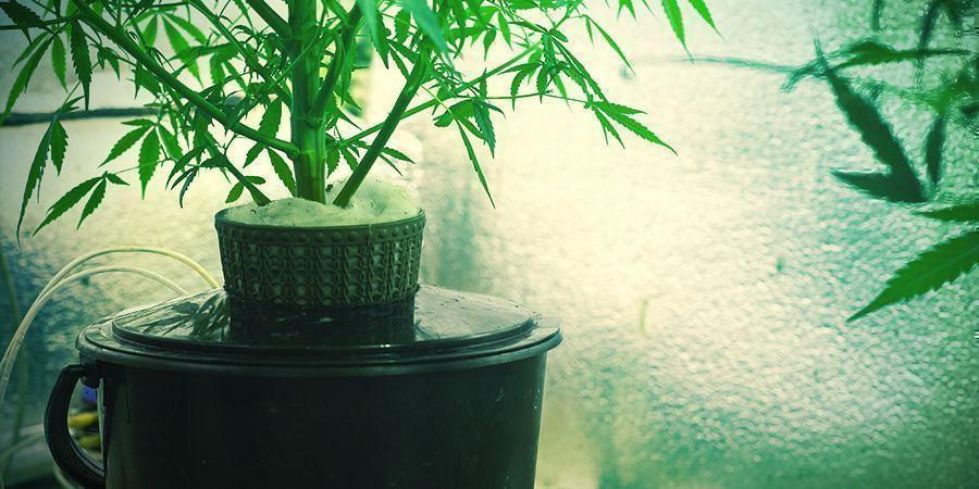 Qu'est-ce que la culture hydroponique du cannabis?
