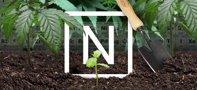 Azote Et Plantes De Cannabis