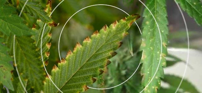Virus De La Mosaïque Du Tabac (TMV)