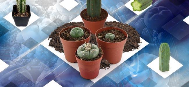 Cultiver Les Boutures D'un Cactus Mescaline