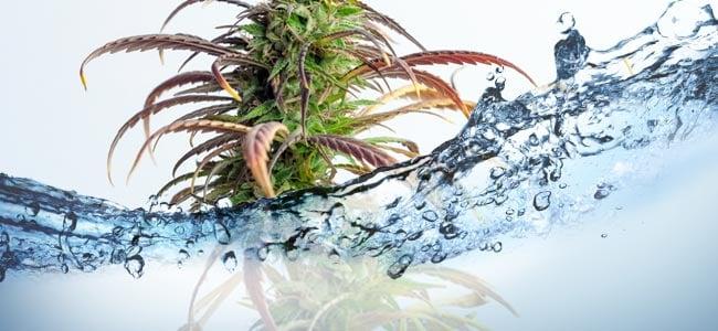 Comment Arroser Vos Plants De Cannabis