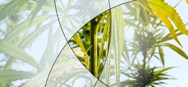 Le Fendage Du Cannabis