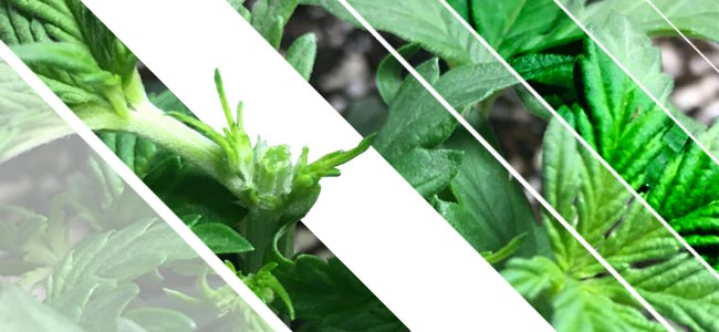 Le Topping Des Plants De Cannabis