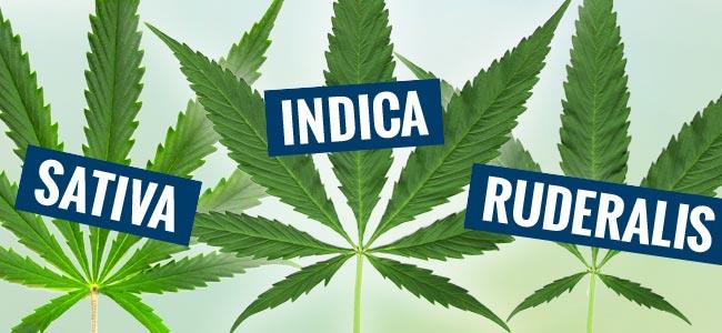Sativa, Indica & Ruderalis