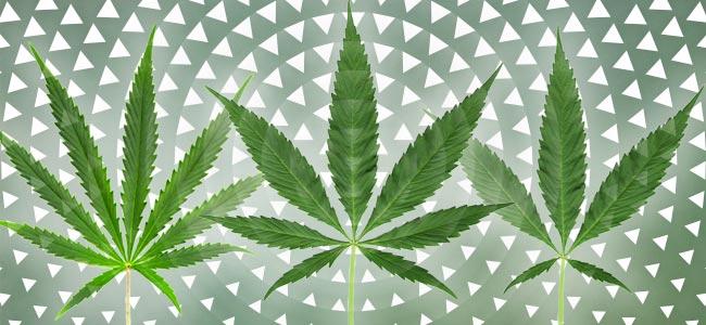 Combiner Les Meilleures Caractéristiques De Certaines Variétés Du Cannabis