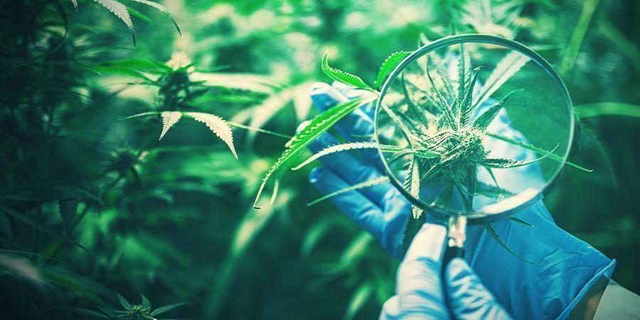 Préservation La Génétique Du Cannabis Souhaitée