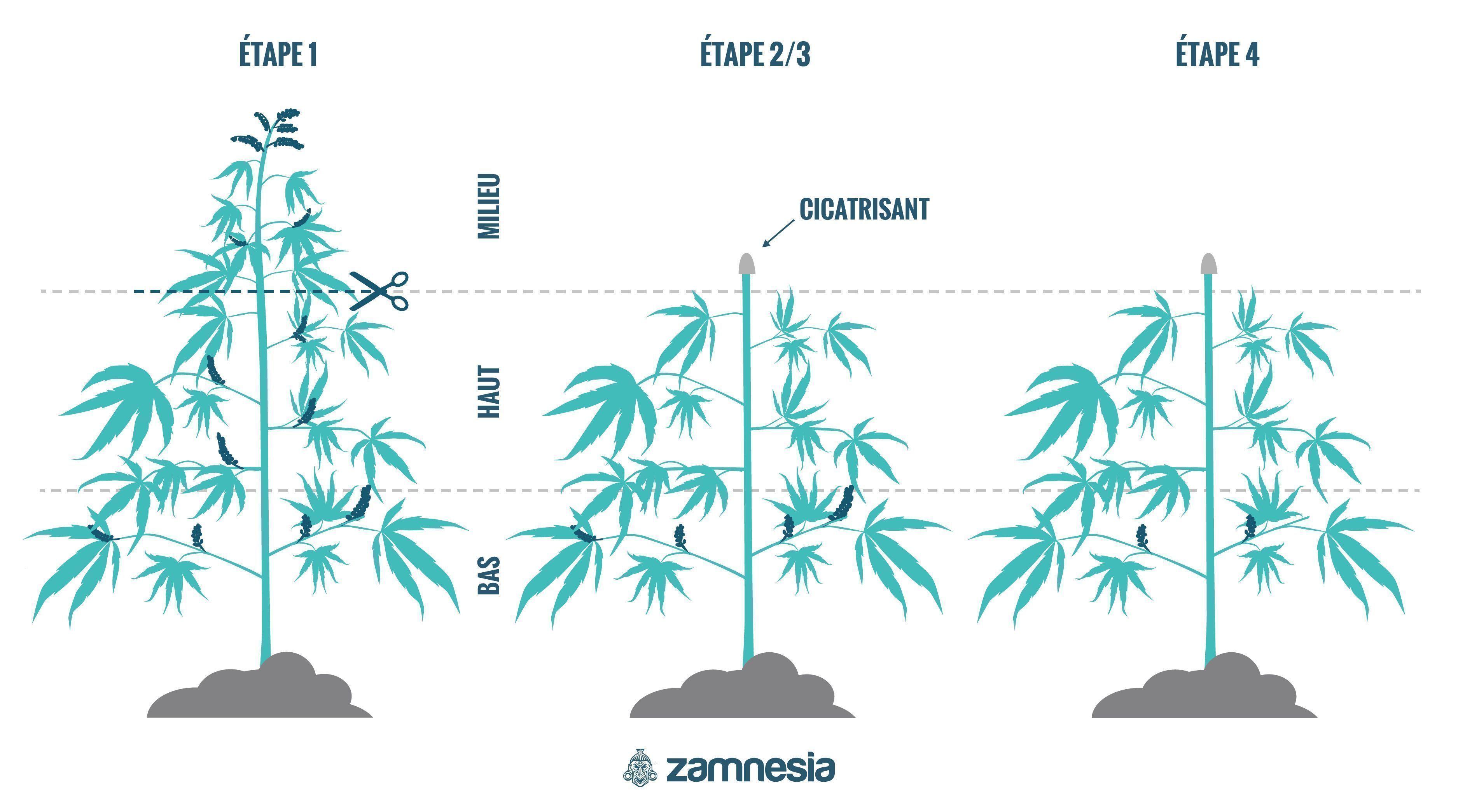 Comment Régénérer Les Plants De Cannabis