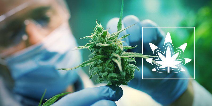 Régénérer Des Plants De Cannabis
