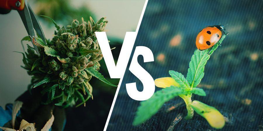 Les Avantages Et Les Inconvénients De La Régénération Du Cannabis