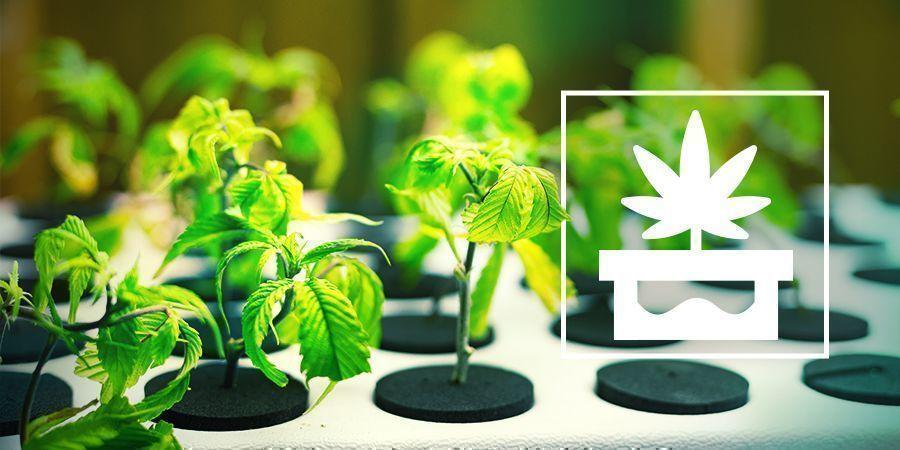 Culture Du Cannabis En Hydroponie Avancée