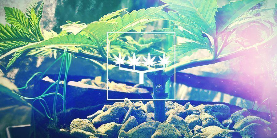Main-lining Du Cannabis: Tout Ce Qu'Il Faut Savoir