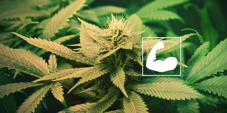 Les Bienfaits De La Taille Des Racines Du Cannabis