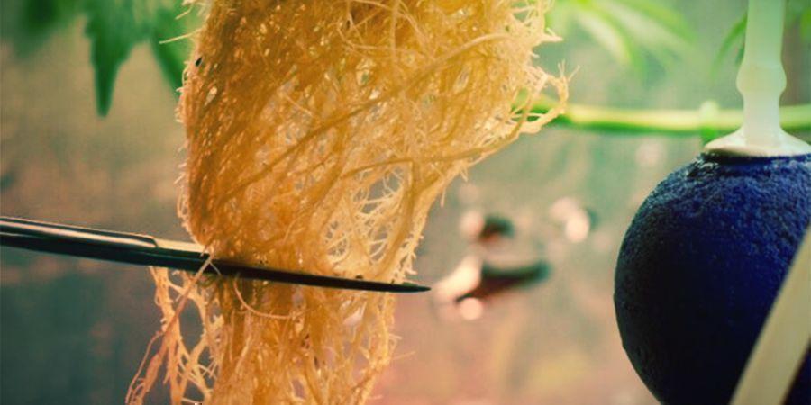 Qu'Est-Ce Que La Taille Des Racines Du Cannabis ?