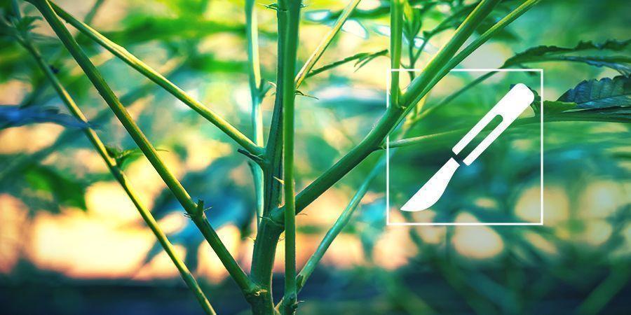 Guilde de Culture Pour Le Fendage Des Tiges De Cannabis (Splitting)