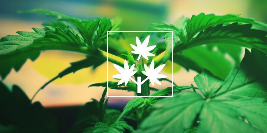 Topping Cannabis : Tout Ce Que Vous Devez Savoir