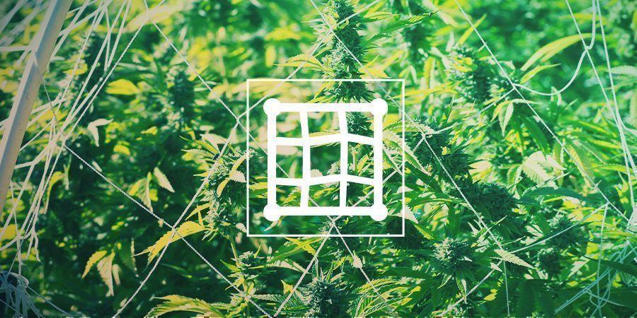 Palissage Du Cannabis