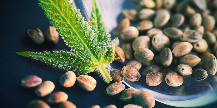 Graines De Cannabis Régulières