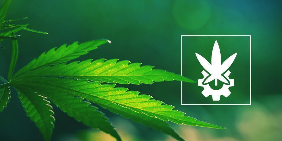 Examen De Cannabis Ruderalis Et Des Autofloraisons
