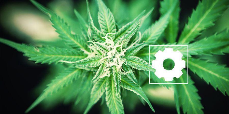 Caractéristiques De Cannabis Ruderalis