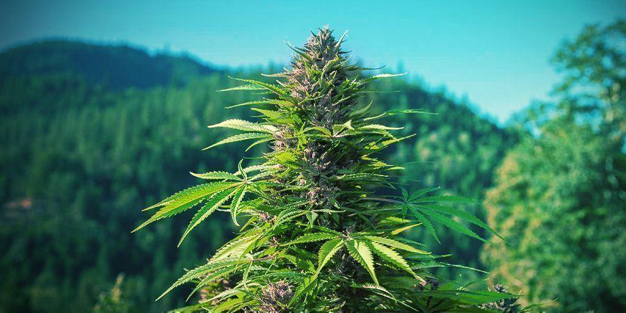 Comment Reconnaître Un Plant De Cannabis Indica?
