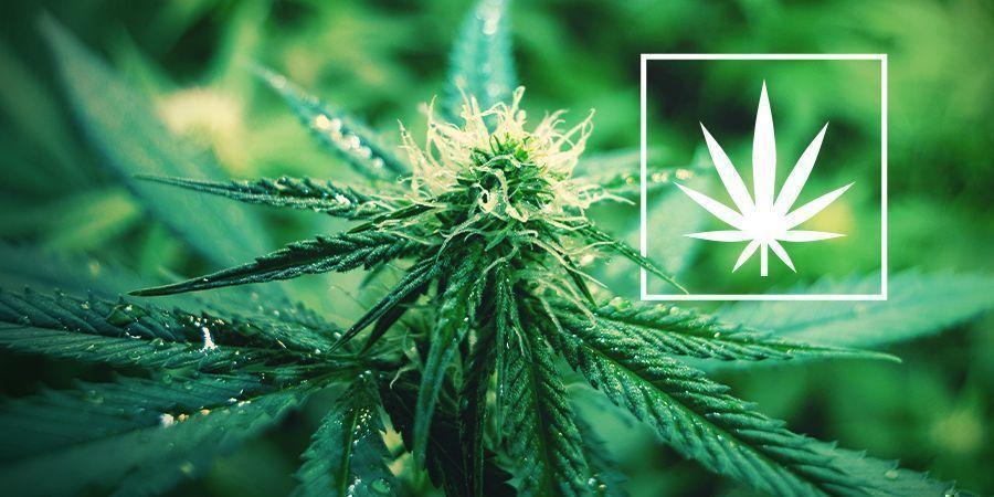 C'est Quoi Cannabis Sativa ?