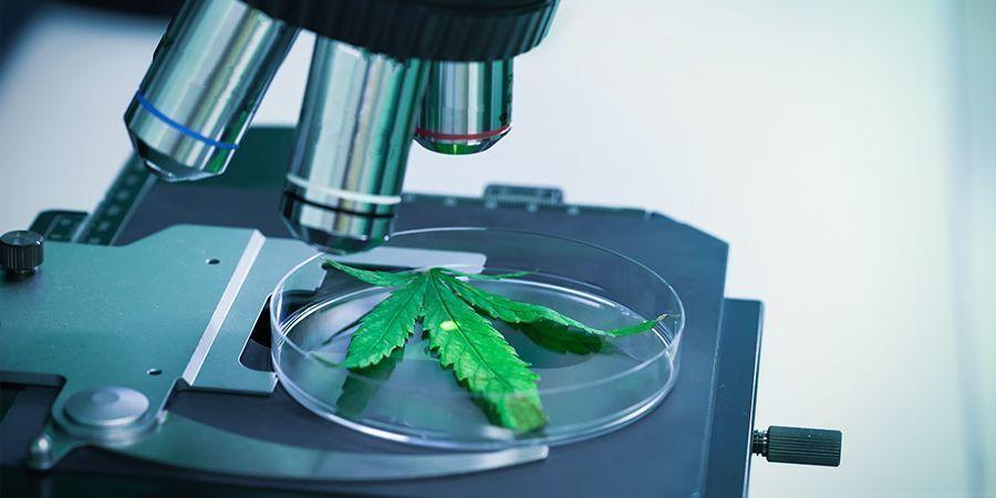 THCV — Un Cannabinoïde Sous-Coté