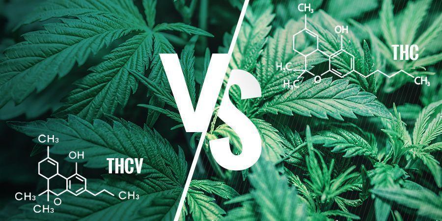 THCV vs THC : Quelles Sont Les Différences?