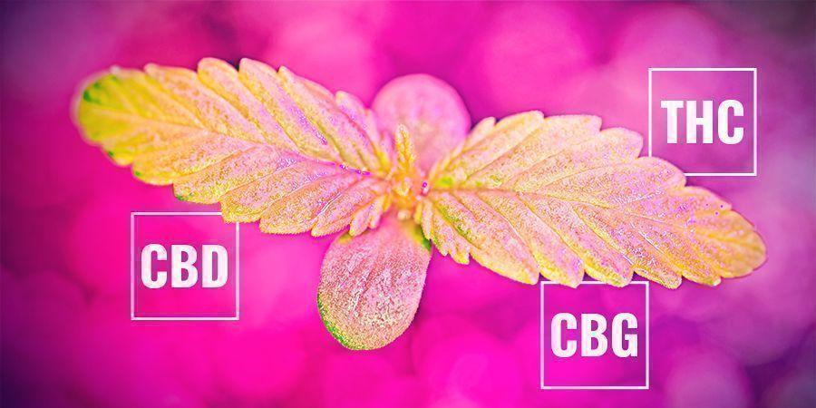 Comment Le Taux De Photosynthèse Pourrait Affecter Le Taux De Cannabinoïde