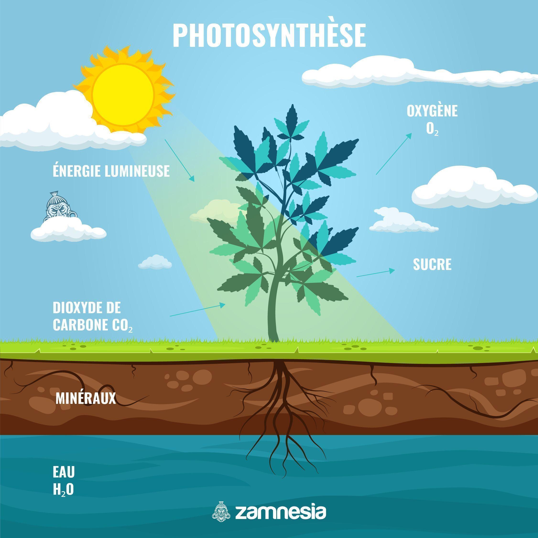 Qu'est-ce Que La Photosynthèse ?