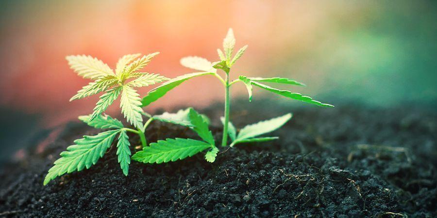 Cannabis: Stade Du Jeune Plant