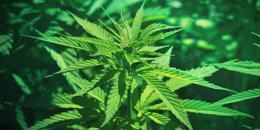 Cannabis: Phase De Croissance Végétative