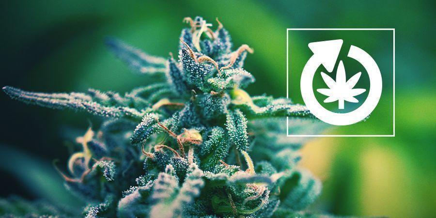 Le Cycle De Vie Du Plant De Cannabis