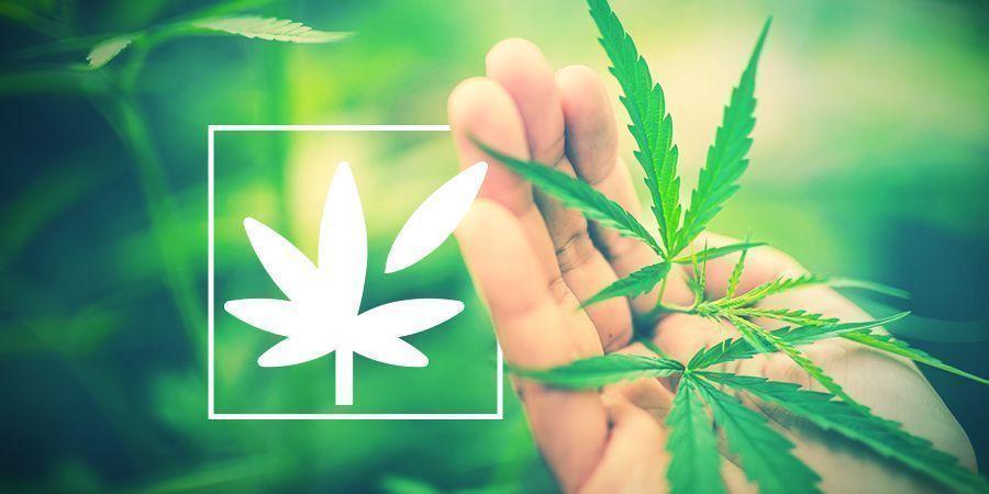 Tout Sur L'Anatomie Végétale Du Cannabis