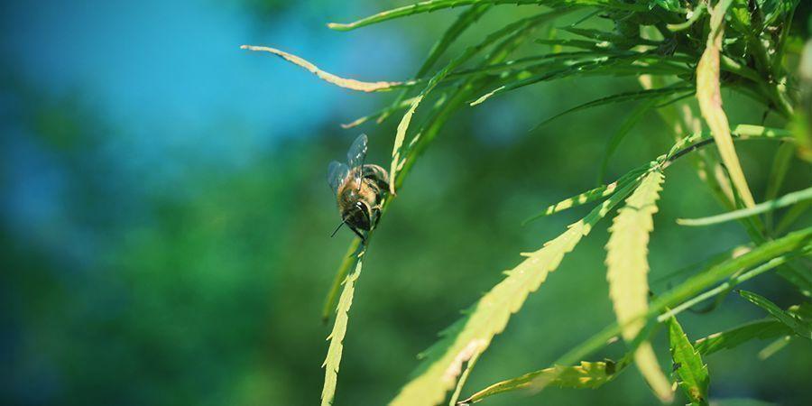 La Pollinisation Des Plants De Cannabis